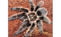 Voragyviai (Arachnida)