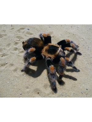 Brachypelma angustum – Kosta Rikos Raudonasis tarantulas
