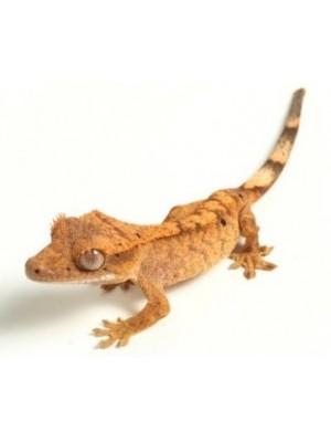 Correlophus ciliatus - Skiauterėtasis gekonas