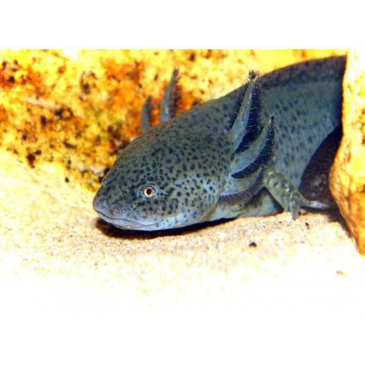 Ambystoma mexicanum - Aksalotlis, juodas (mažas)