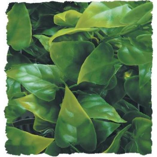 Mexican Phyllo – Natural Bush Plant – krūminis augalas 36m