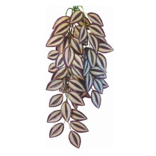 Tradescantia zebrina augalas, 70cm