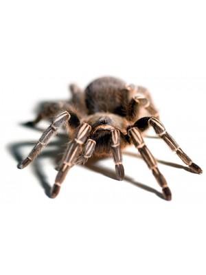 Aphonopelma seemanni tarantulas