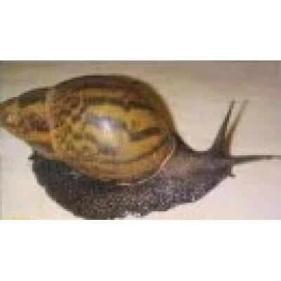 Moliuskai (Mollusca)