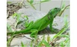 Egzotiški ropliai (Reptilia)