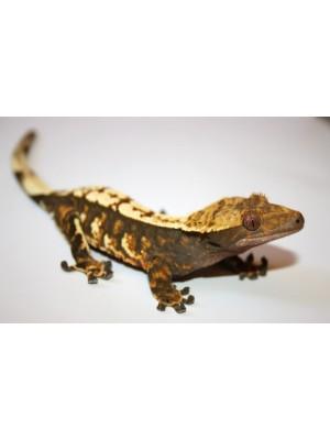 Skiauterėtasis gekonas – Rhacodactylus ciliatus