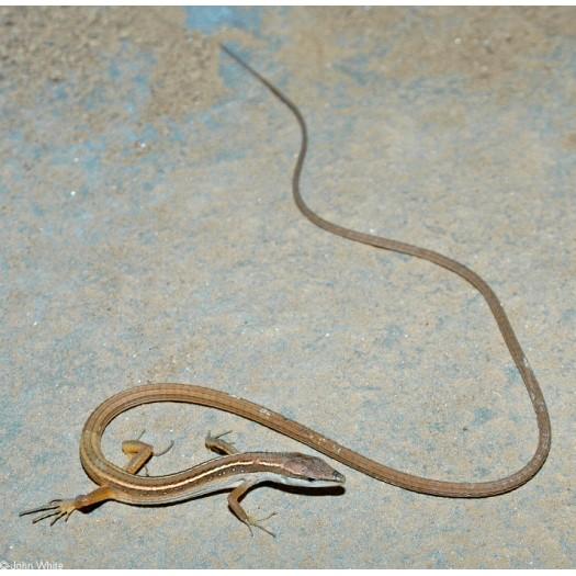 Ilgauodegis driežas - Takydromus sexlineatus