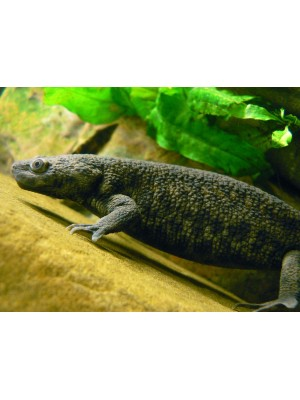 Pleurodelles walt - Ispaniškasis tritonas (BALTAS)