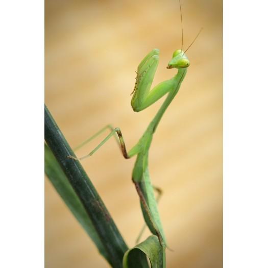 S. viridis - Didysis Afrikos maldininkas