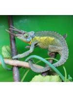 Jacksono Chameleonas