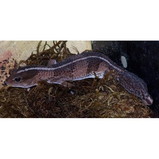 Hemitheconyx caudicinctus - Storauodegis gekonas