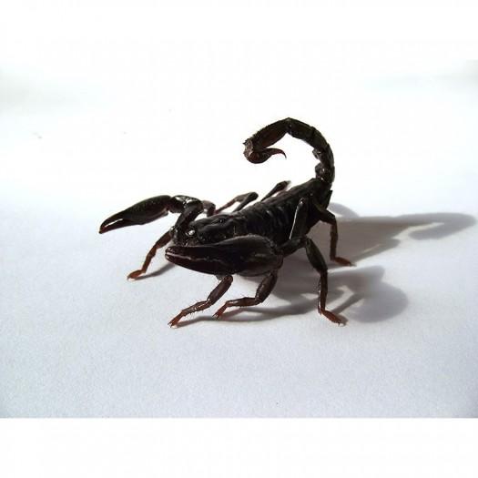Didysis miškų skorpionas - Heterometrus petersii