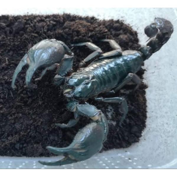 skorpionų prekybos sistema