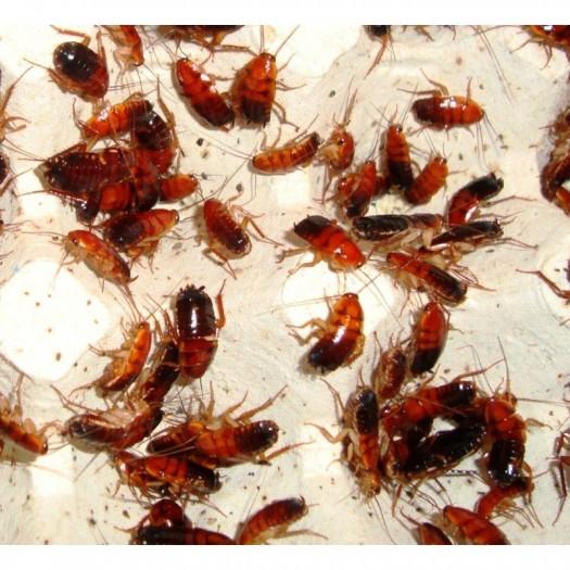 Turkestaniniai tarakonai – Shelfordella tartara (dėžutė)