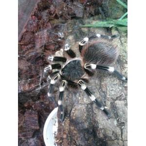 Acanthoscurria geniculata - Gigantiškasis baltakelis paukštėda (patelė)