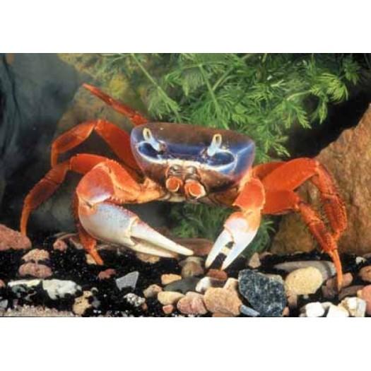 Cardisoma armatum - Vaivorykštinis krabas