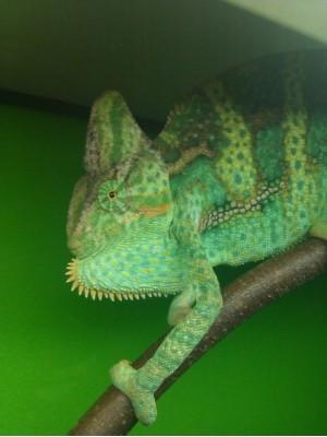 Chameleo calyptratus - Šalmagalvis chameleonas (patinas)