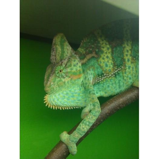 Chameleo calyptratus - Šalmagalvis chameleonas