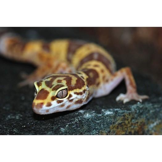 Eublepharis macularis - Leopardinis gekonas