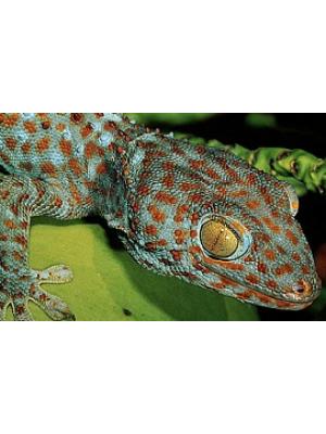 Gekko Gecko - Gekonas tokis