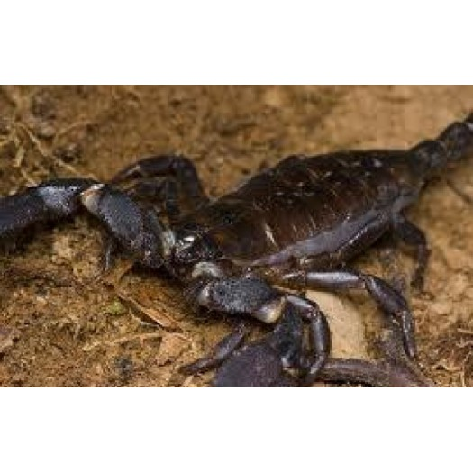 Heterometrus petersii - skorpionas