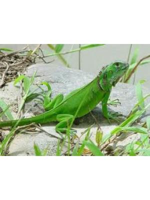 Iguana iguana - Žalioji iguana (tik pagal užsakymą, kaina kintanti)