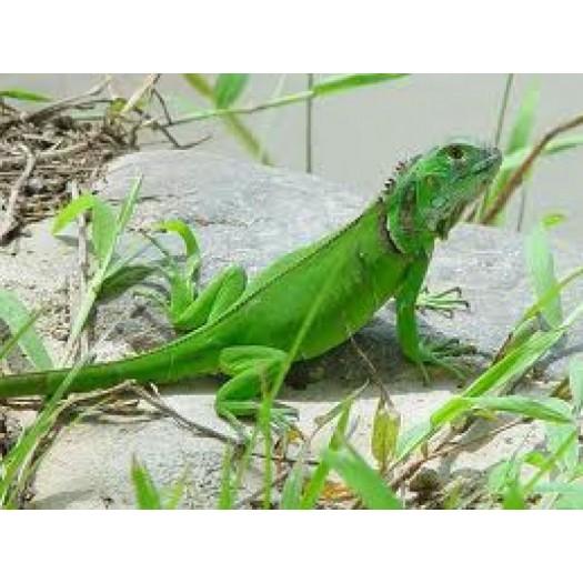 Iguana iguana - Žalioji iguana