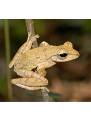 Polypedates leucomystax - Bambukinė skraidanti varlė