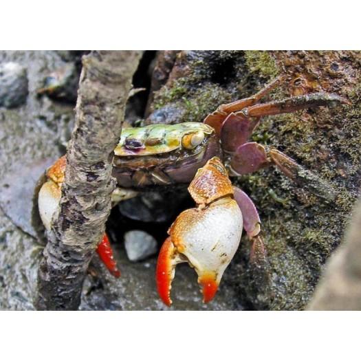 Sesarma mederi - Mangrovių krabas