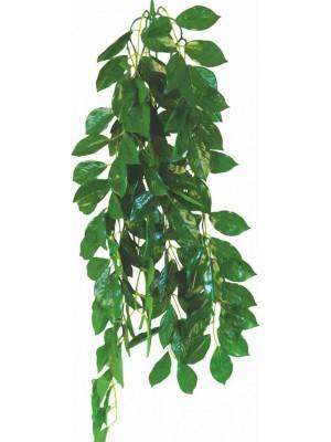 Ficus augalas, 70cm