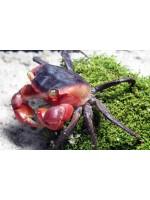 Metasesarma aubryi krabas