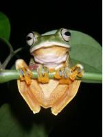 Žalioji skraidanti varlė – Rhacophorus reinwardtii